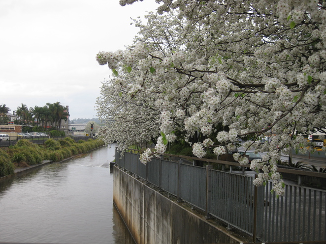 White blossom trees along West Creek