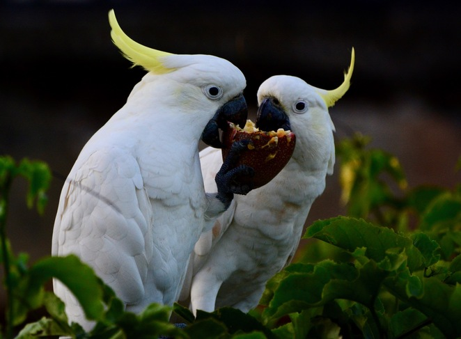 A pair of cockatoos helping themselves to fruit at Mount Cotton Community Park