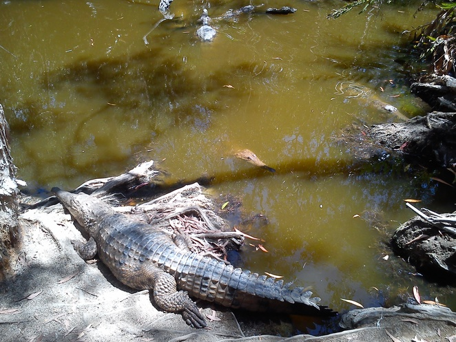 Hartleys Crocodile Farm, boat cruise to see crocs, Things to do near Cairns, things to do near Palm Cove, Crocodile farm, where to go to see a crocodile