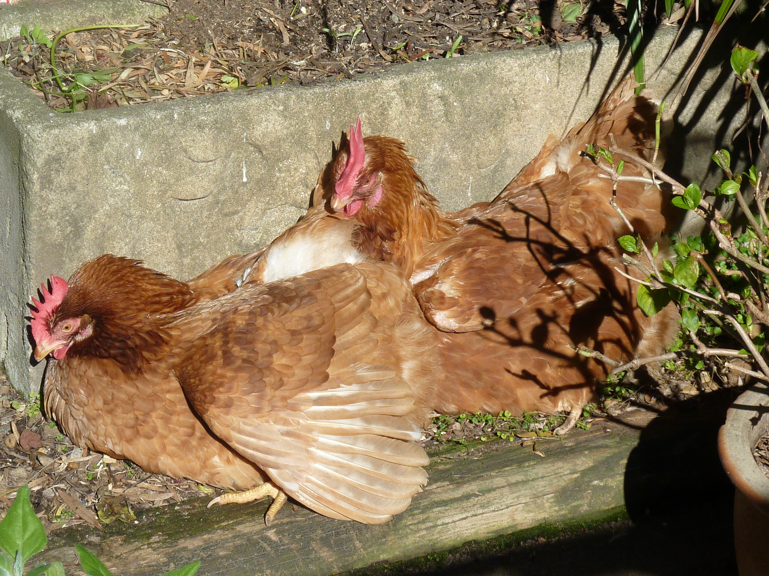 when they 39 re not eating and laying eggs my chooks c1 and c2 love sun