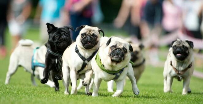pug race, charity, dogs in the park, nsw, sydney, dog charity