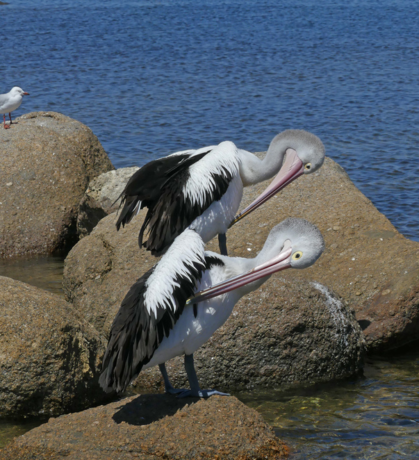 South Australian wildlife, South Australian tourism, Wildlife photography, Victor Harbor, The Bluff, Australian pelicans