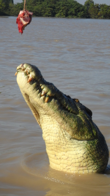 spectacular jumping crocodile boat cruise, croc