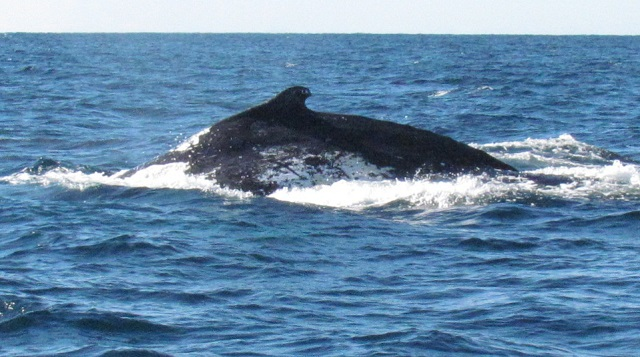 whale watching, whale watching gold coast, whale watching brisbane, getaway sailing whale watching, getaway sailing, things to do on the gold coast, gold coast sailing,