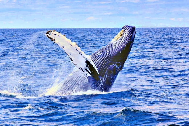 Whale watching,Wildlife Coast Cruises,Wilsons Promontory,Whale Cruise,Whale watching Victoria,Whale migration,See whales,Visitvictoria,Visitgippsland,Weekend getaways Victoria,