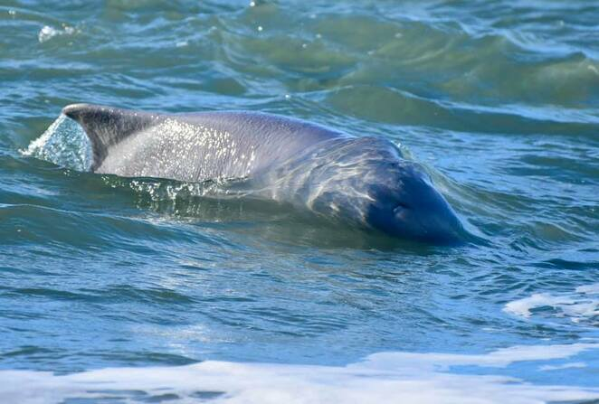 An Australian humpback dolphin playing in the surf at Woorim