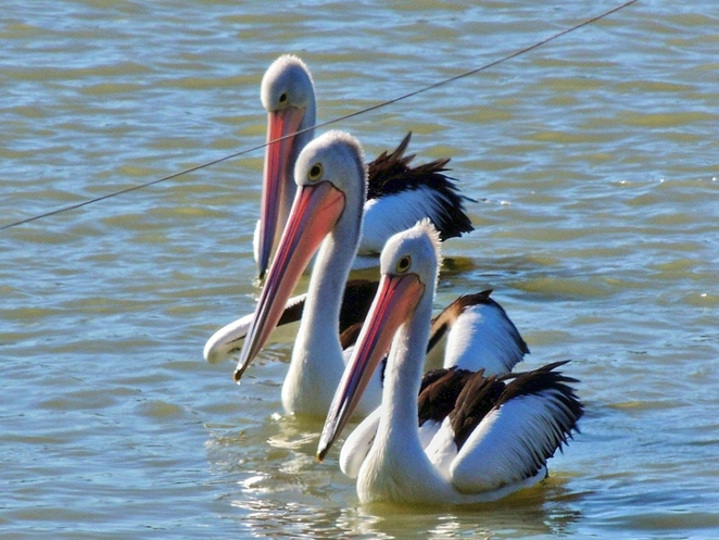 adelaide flyway festival, adelaide international bird sanctuary, st kilda, st kilda addventure playground, free things to do, fun things to do, activities for kids, mangrove trail, free, pelicans