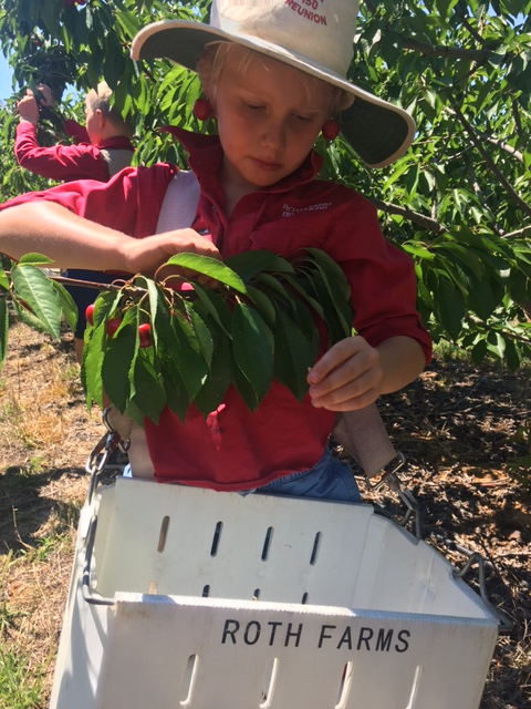 Cherry picking, fruit picking, Roth Family Orchard, farm, Mudgee Central West NSW Australia