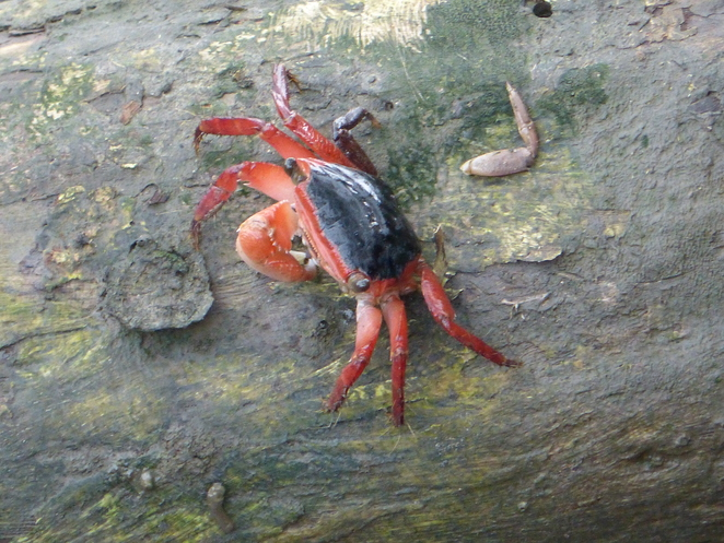 Create-a-Tour, Brisbane, nature walks, mangrove crab.