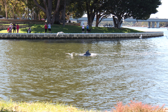 Dolphins Perth River Water Fun Amazing Surprising Dolphin