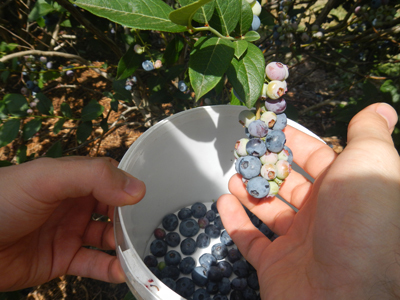 Blueberry Picking At Tuckerberry Hill