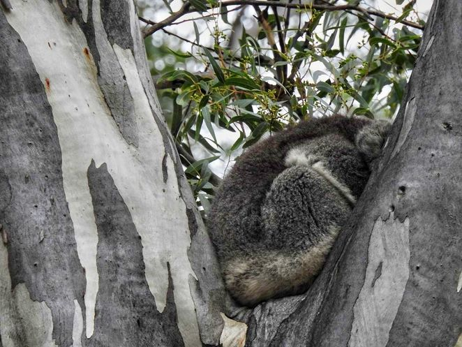Free Guided Walks, Belair National Park, Guided Walks, Friends of Belair National Park, native, national park, free, plants, Belair, sleeping koala