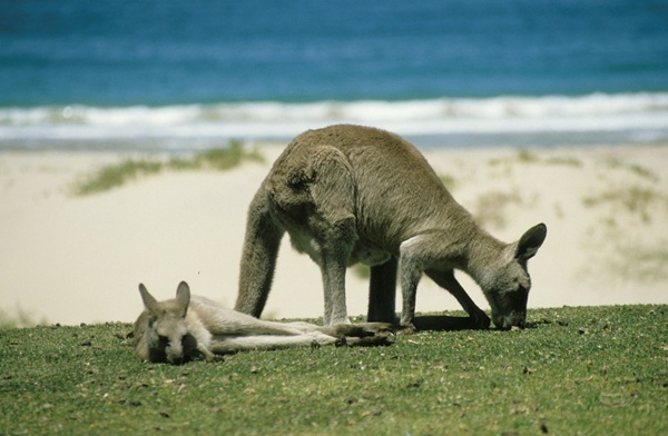Kangaroos,lazing,on,the,beach