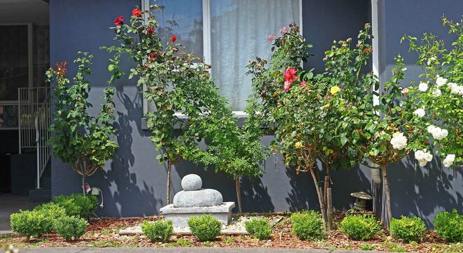 row of roses