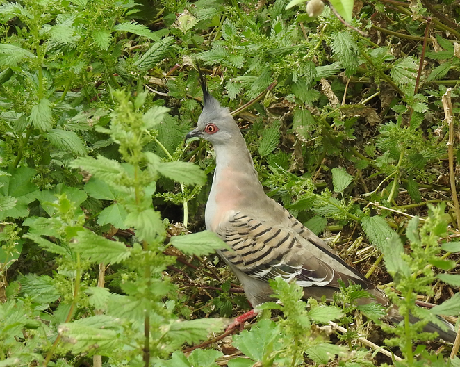 South Australian wildlife, South Australian tourism, Wildlife photography Wildlife stories, Coriole winery, McLaren Vale, winery, crested pigeon