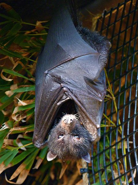 Bats as Pollinators. Image by Rusty Clarke, sourced from Wikimedia Commons