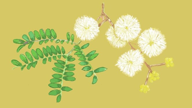 drawing on nature wattle we draw? workshops, drawing workshop, community event, fun things to do, melbourne museum, art skills, local plant life drawing workshop online, drawing workshop for kids, online drawing workshop for kids