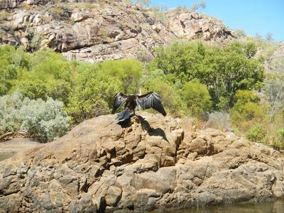 A Darter dries itself on a rock @Katherine Gorge
