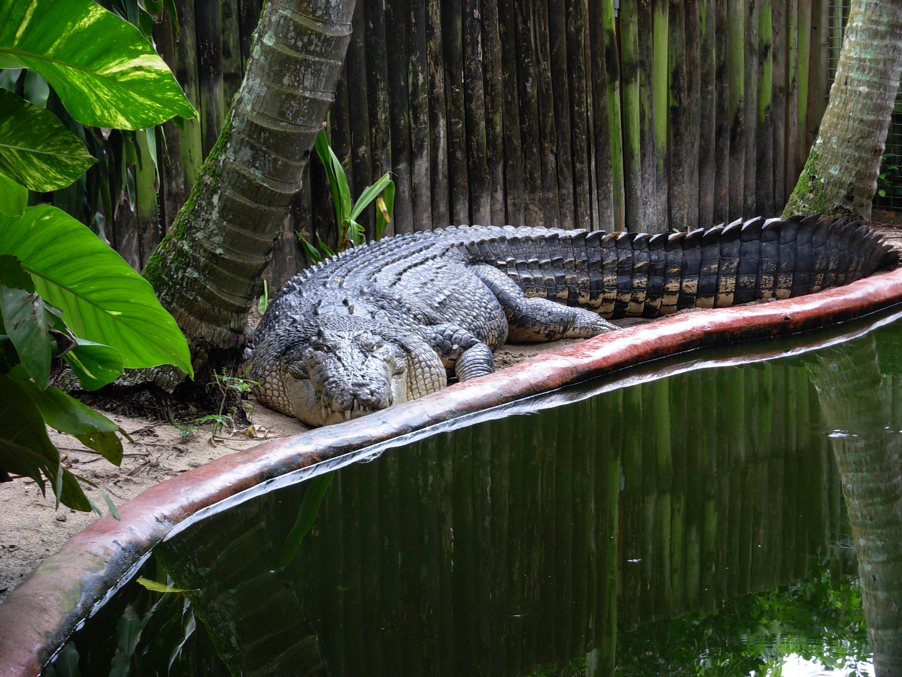 an introduction to the alligators and crocodiles Alligators and crocodiles are, therefore, closely related, and people often confuse one with the other however, these two reptiles are very different an alligator is distinguished by its wide, rounded snout and black color.
