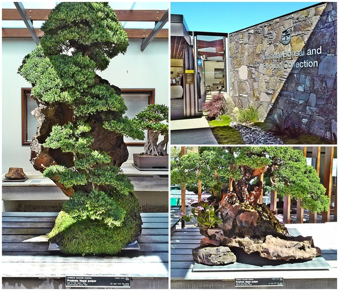 national bonsai and penjing collection, canberra, national arboretum, ACT, bonsai, penjing,