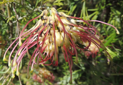 native plants, aps, grevillea