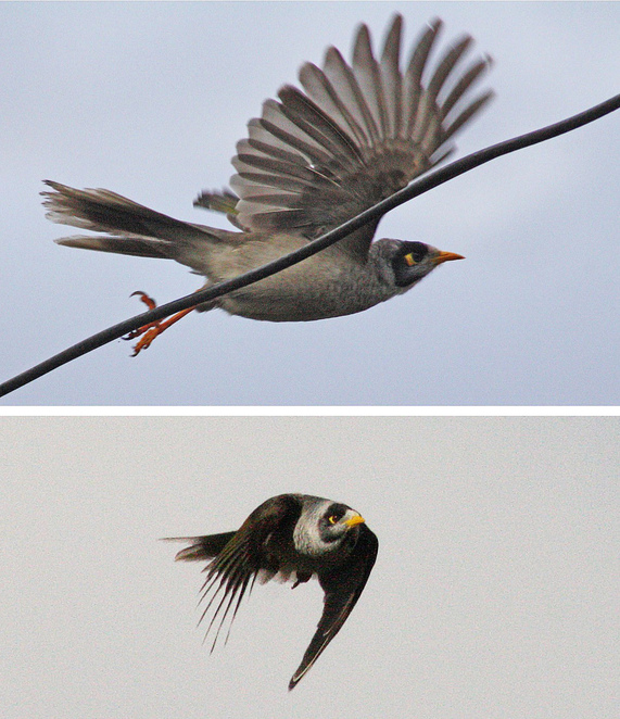 noisy miners in flight and perching.