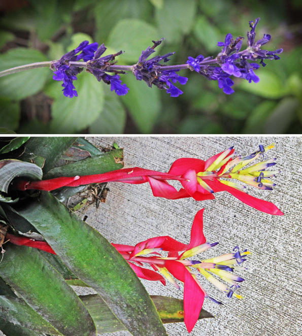 Salvia and queen's tears.