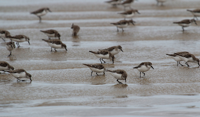 South Australian wildlife, wildlife photography, South Australian tourism, Adelaide tourism, Adelaide wildlife, South Australia nature, Murray Mouth, Goolwa, sanderlings