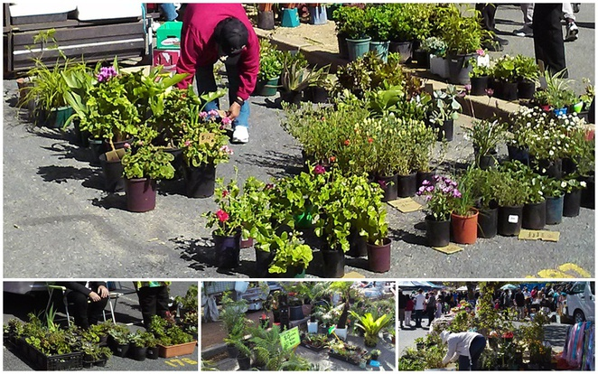 trash and treasure market, jamison, canberra, ACT, cheap plants, plants, trees,