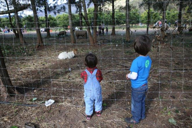 Watkins Family Farm, pick your own, mandarins and mushrooms, Wisemans Ferry, fun for kids, kids in sydney, winter excursions, feed the sheep