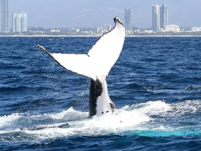 whale watching gold coast, whale watching brisbane, best whale watching brisbane, best whale watching gold coast, spirit of gold coast whale watching
