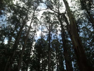 Tall Gum Trees