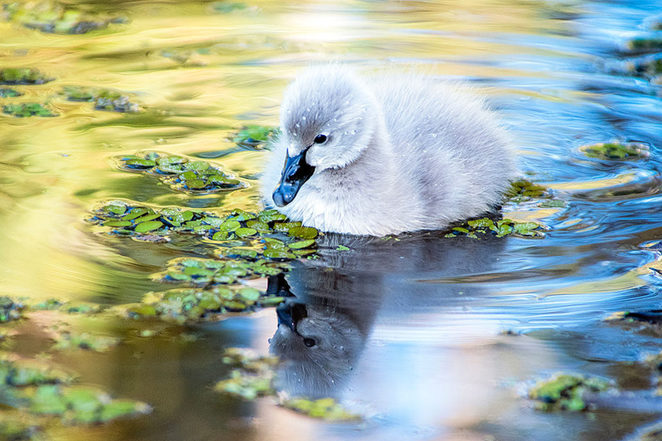 Cygnet in pond, Varsity Lakes Qld