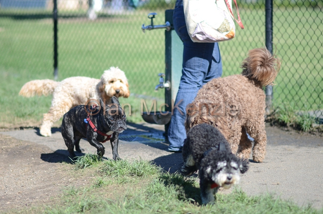 dog park, bulimba, brisbane, parks, dogs, off-leash areas