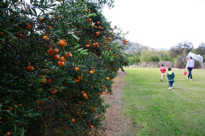 Mandarins, pick your own, Hawkesbury trail, wisemans ferry, fun with kids, pick your own mandarins, day out with kids, family day trips, Sydney local day trips,