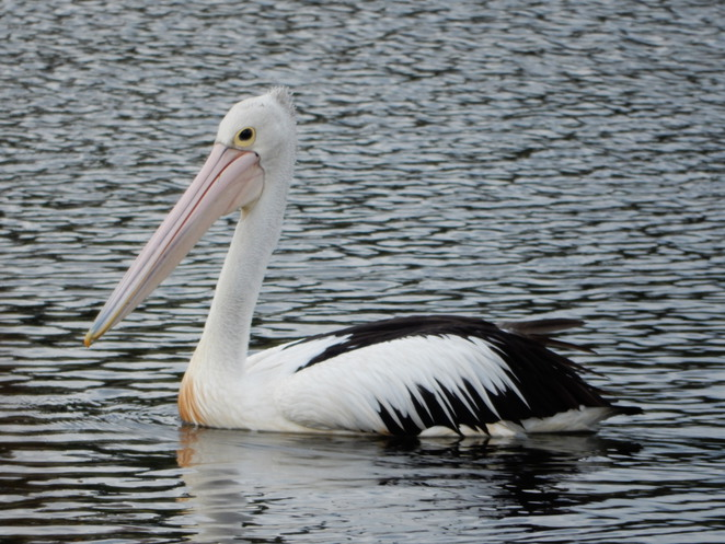 pelican, birds, birdwatching, birding, wetlands