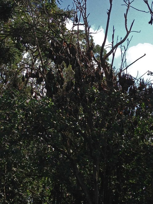 Redcliffe, Flying Foxes, Free, Parks, Gardens, Outdoors, Environment