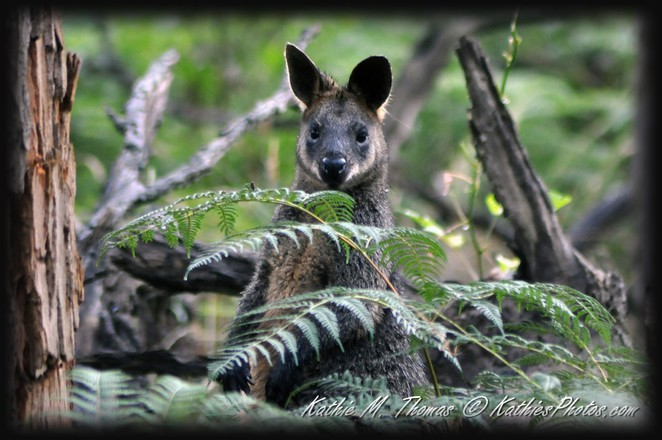 Swamp Wallaby at Grants Picnic Grounds