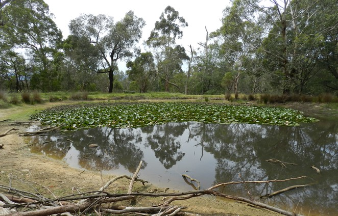 water lilies, pond, jells park, parks in melbourne, park walks in melbourne, heart foundation green walks, wheelers hill,