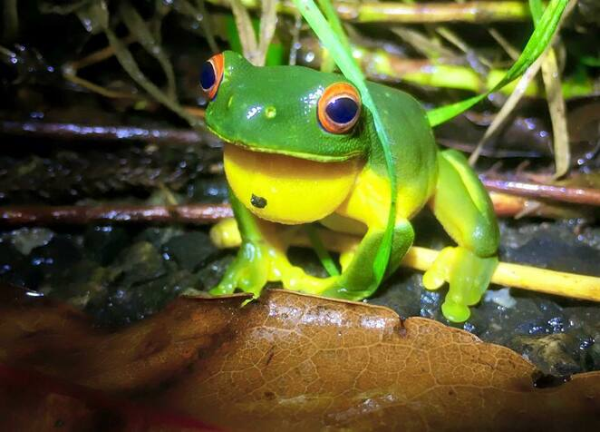 Tree frogs are also present around Picnic Rock and love the wet weather as well