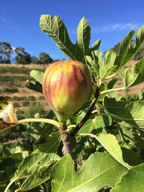 Adelaide, Willabrand, Figs, Fig Orchard, Fig Picking, Valentine's Day, Ideas, Fun, Summer, Cheap