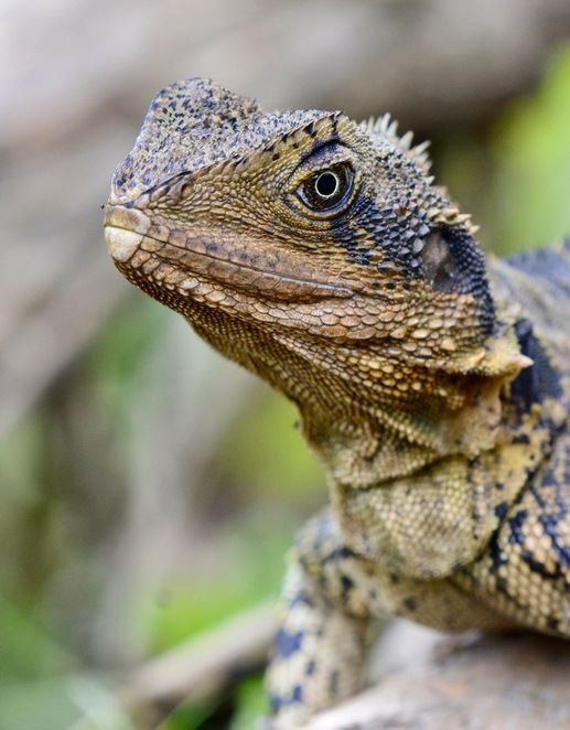 An eastern water dragon at Redlands Indigiscapes Centre