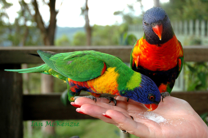 parrots, native, Mt Tamborine