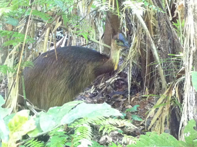 rainforest discovery centre, cassowary, Daintree rainforest, things to do near Cairns, family friendly, far north queensland