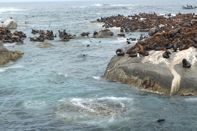 Seal Island, Hout Bay, Western Cape, South Africa, fishermans' village, markets, Cape Fur Seals, boat charters, Nauticat Charters, Sentinel Mountain, Animal Ocean, snorkel with seals, best fish and chips in Cape Town