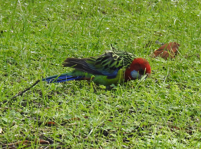 South Australian wildlife, South Australian tourism, Wildlife photography Wildlife stories, Regency Park Golf Club, Regency Park, White cheeked rosella