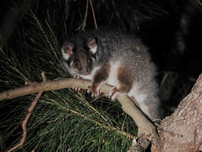 South Australia's History Festival, history festival, history, south australia, Adelaide, ghost tours, National Trust, heritage, things to do, ringtail possum