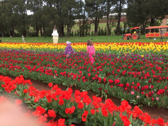 Tesselaar Tulip Farm, Festival, Family, activities, Melbourne, Fun things to do in Melbourne