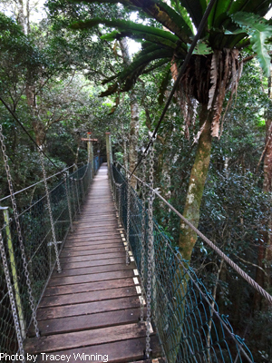 Tree Tops Walk, Green Mountains, Oreillys treetops walk, Gold Coast Hinterland
