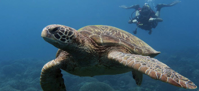 Turtle Water Ocean Scubadiving